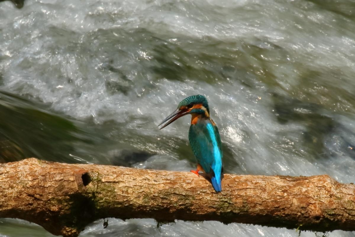 渓流とカワセミ-6