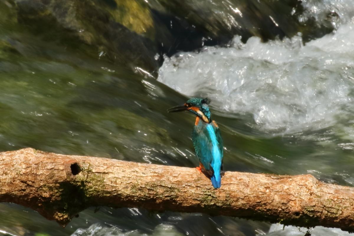 渓流とカワセミ-4