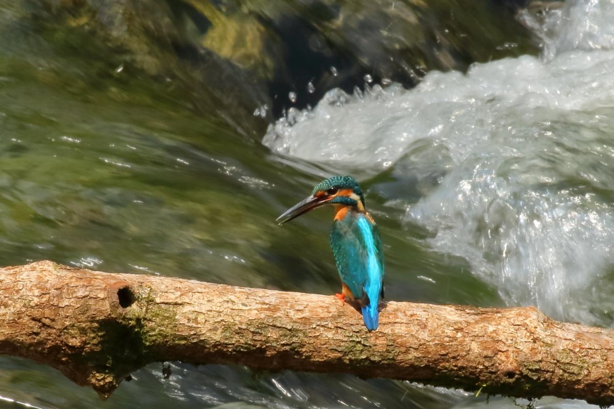 渓流とカワセミ-3
