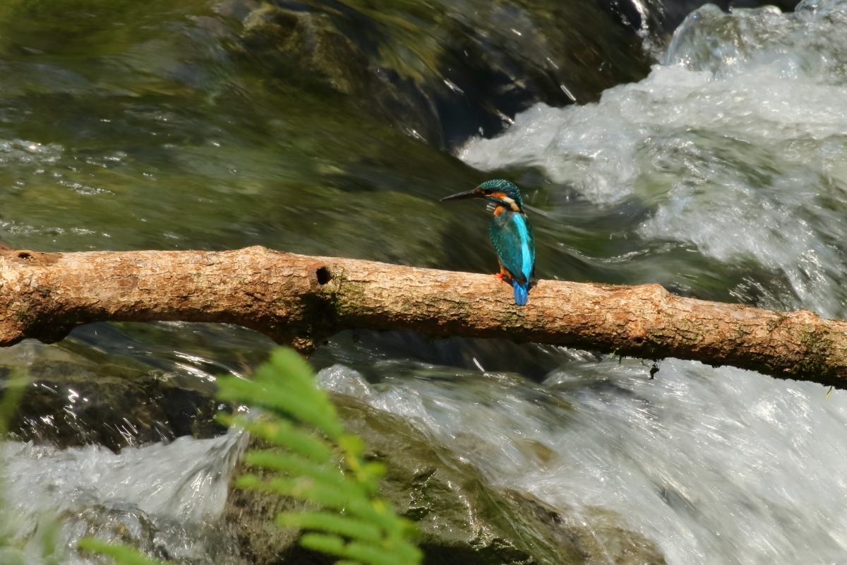 渓流とカワセミ-1