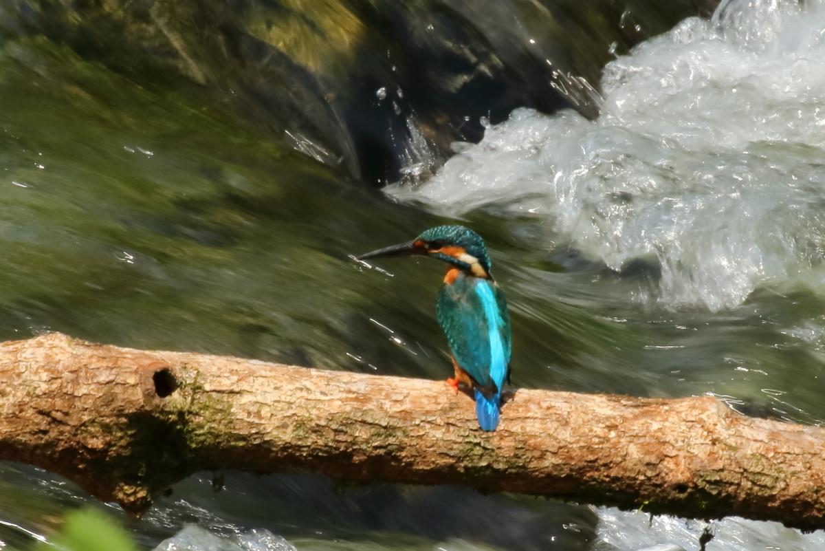 渓流とカワセミ-2