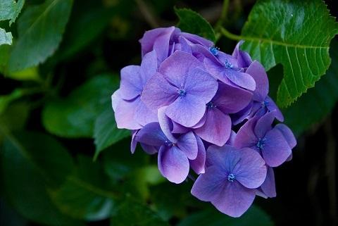 190608 あじさい紫