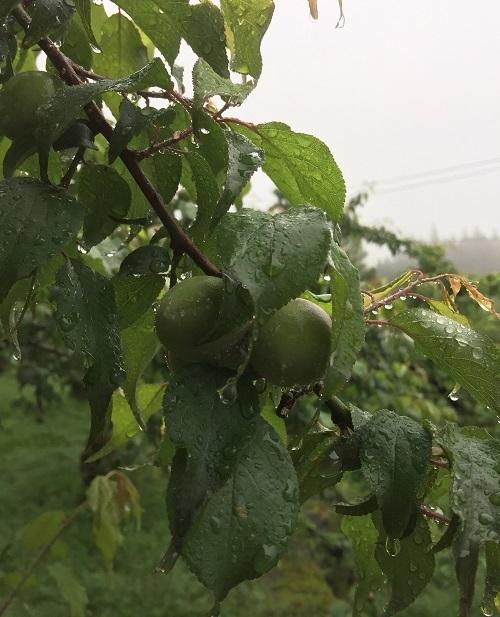 梅の果実 生育の様子