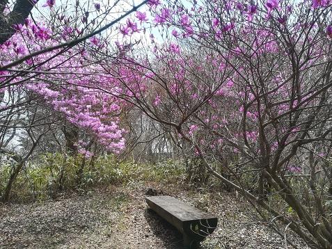 8 ミツバツツジが咲き誇る