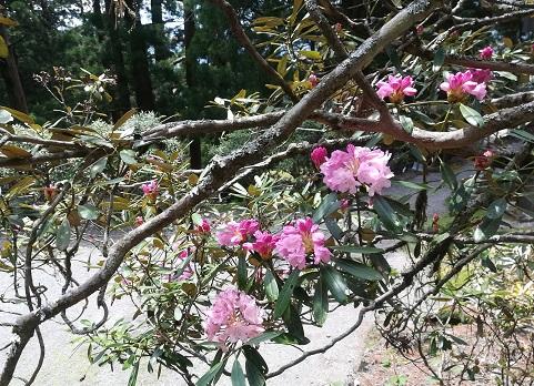 12 石楠花が綺麗