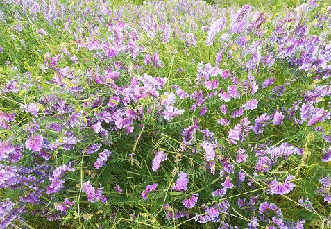 5 大和川の土手の雑草