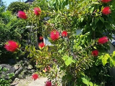 10 麓の住宅の庭に咲くブラシの木