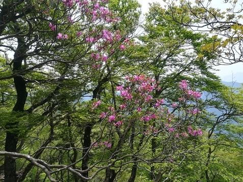 18 明神岳の手前で咲くミツバツツジ