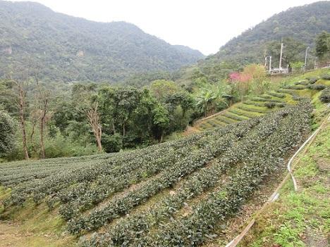 2 この付近に広がる茶畑