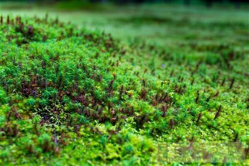 京都 三千院の苔庭園