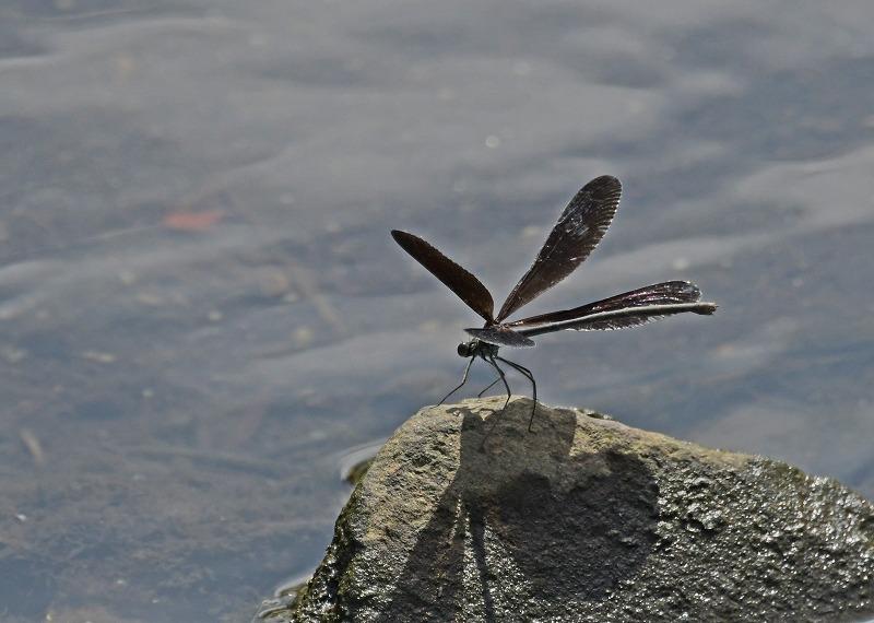 昆虫(トンボ)