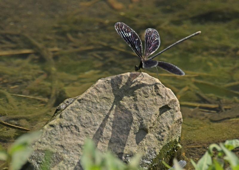 昆虫(トンボ