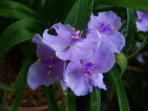 紫ツユクサDSCF1351