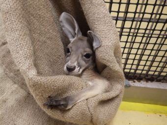 多摩動物公園初めてのお留守番袋にこどもがいるお母さんカンガルーが病気になったりケガをして病院に行くと、残されたこどもはこのように麻袋に入れられて、おとなしくお母さんの帰りを待ってます。