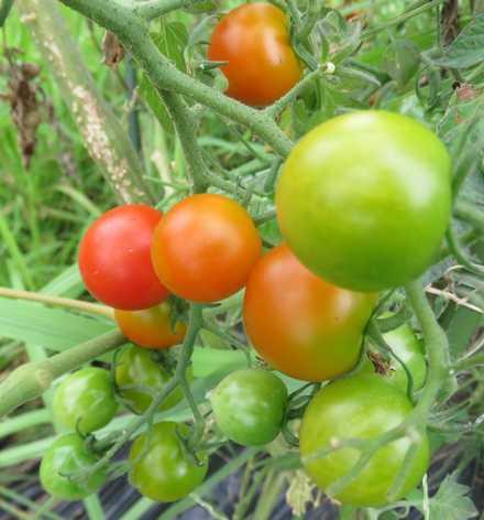 プチトマト1