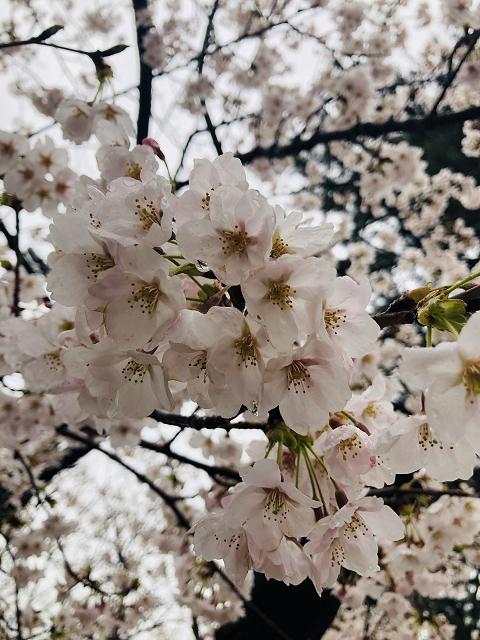 1635-満開の桜