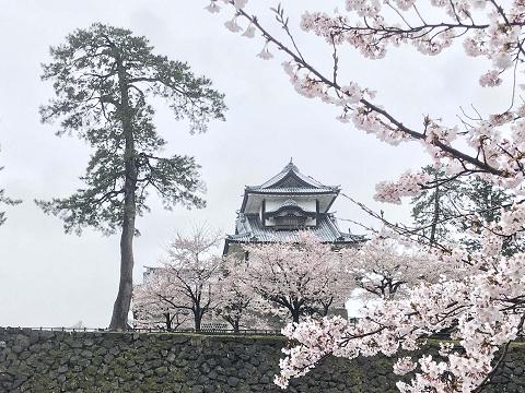 1642-金沢城と桜