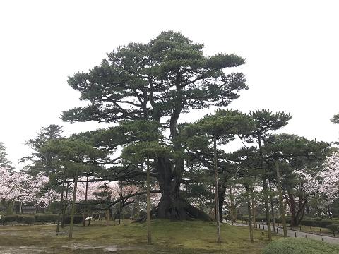 1648-兼六園:根上松