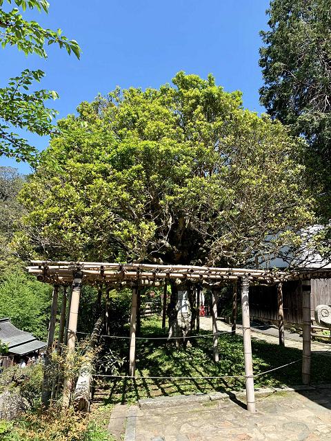 1679-モチの木