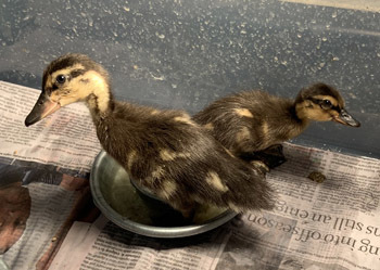 ducklings0522201901.jpg