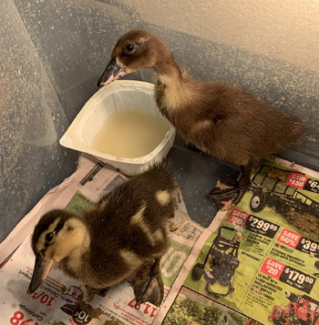 ducklings0524201901.jpg
