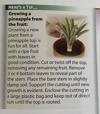 pineapple1901.jpg