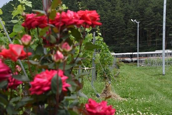 383系WVしなのと紅い薔薇の花