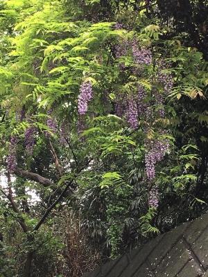 フサフサの紫