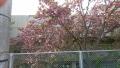 20190422八重桜