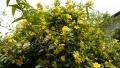 20190429黄色の花
