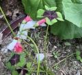 四つ葉のクローバー花