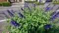 20190623青い花