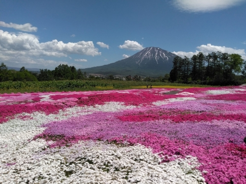 IMG_20190530_124738三島さんちの芝桜