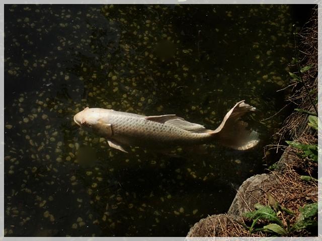 640P5186739s天祖神社の金の鯉