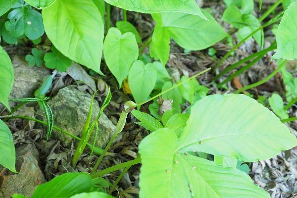 ムラサキオオハンゲ ( 紫大半夏 )