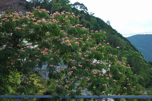 ネムノキ ( 合歓木 )
