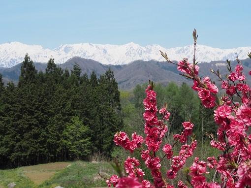 花桃と後立山