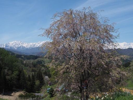 桜と北アルプス