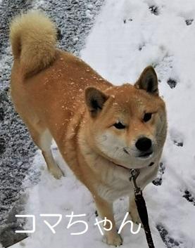 コマちゃん 柴犬