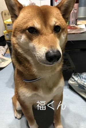 福くん 柴犬