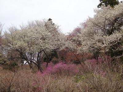 DSC06973桜とつつじ
