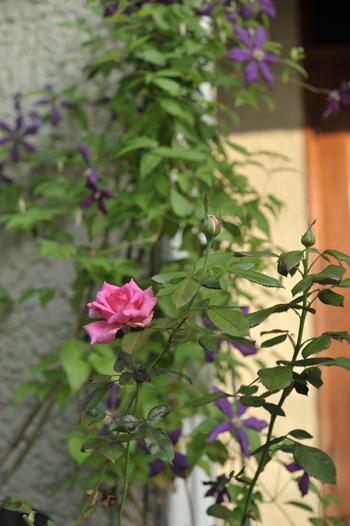 rose20190805-1.jpg