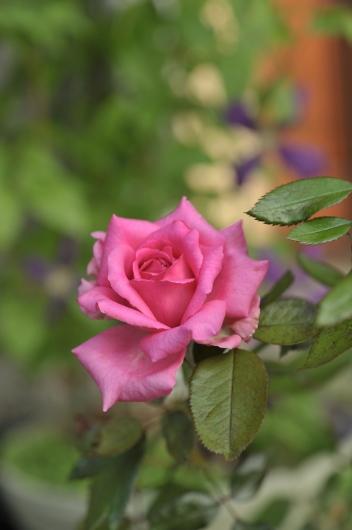 rose20190805-2.jpg