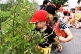 トマト収穫 (5)