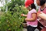 トマト収穫 (7)
