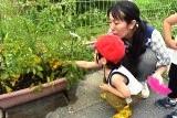トマト収穫 (8)