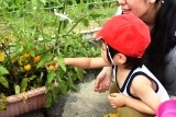 トマト収穫 (9)