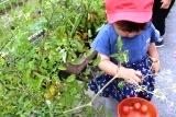 トマト収穫 (11)