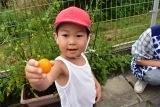 トマト収穫 (13)