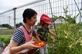 トマト収穫 (19)